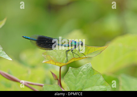 Banded demoiselle (Calopteryx splendens). Male. - Stock Photo