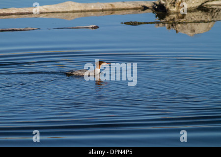 Common Merganser Female (Mergus merganser) Female Swimming on Bow river at Johnson Island, Alberta, Canada - Stock Photo