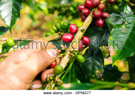 Close up of laborer harvesting coffee by hand individually selecting only the ripe berries - Stock Photo