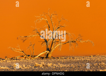 Sunrise paints landscape with golden glow highlighting acacia tree with red sand dune in Namib-Naukluft National - Stock Photo