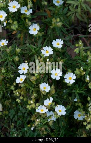 Montpelier cistus, Cistus monspeliensis in flower, mediterranean garrigue, Sardinia. - Stock Photo