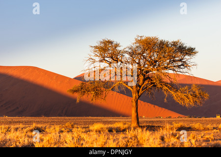 Sunrise paints landscape with golden glow highlighting acacia tree and sand dunes in Namib-Naukluft National Park, - Stock Photo