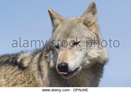 Eurasian wolf (Canis lupus lupus) portrait - Stock Photo