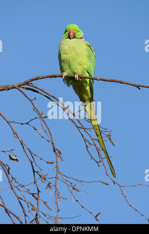 Male Ring-necked parakeet (Psittacula krameri) perched on branch - Stock Photo