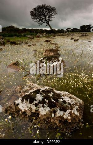 Shallow natural lake, or pauli, with water crowfoot on the basalt plateau of Giara di Gesturi, Sardinia, Italy. - Stock Photo