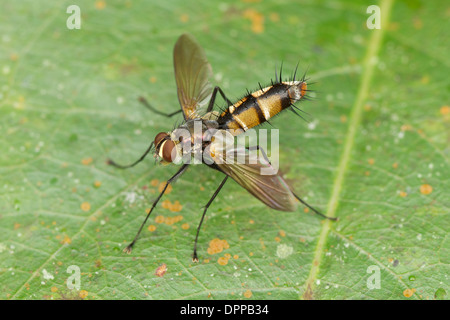 Tachinidae is a large and rather variable family of true flies within the insect order Diptera - Stock Photo
