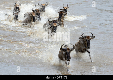 Wildebeest running through water while crossing the Mara river. - Stock Photo