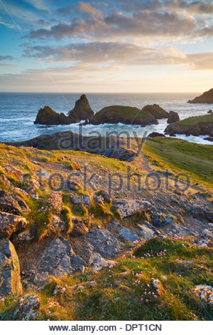 Pathway down to Kynance Cove with Sea Pinks growing beside the steps - Stock Photo