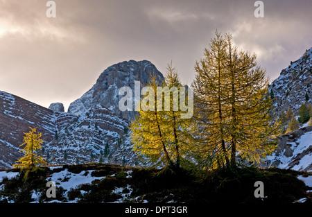 Backlit European Larches, Larix decidua in autumn colour at dawn on the Passo di Valles, Dolomites, north Italy. - Stock Photo
