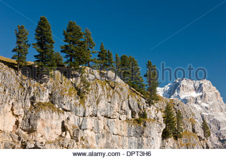 Group of Swiss pines / Arolla pines, Pinus cembra, on the Tofana di Roses in the Dolomites, north Italy. - Stock Photo