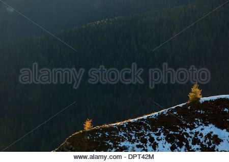 Young trees of European Larch, Larix decidua, autumn colour, on ridge backlit by the setting sun, Passo Giau, Dolomites, - Stock Photo