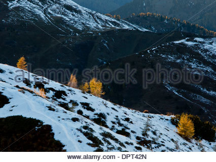 Young trees of European Larch, Larix decidua in autumn colour, backlit by the setting sun. Passo Giau, Dolomites, - Stock Photo