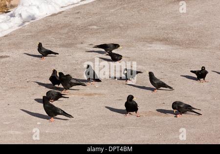 Flock of Alpine choughs, Pyrrhocorax graculus feeding in winter. Dolomites, Italy. - Stock Photo