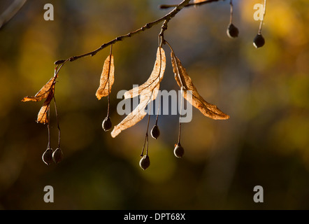 Fruits and bracts of Large-leaved Lime, Tilia platyphyllos in autumn. - Stock Photo
