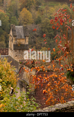Asian persimmon, Diospyros kaki in the village of Castelnaud-la-chapelle - Stock Photo