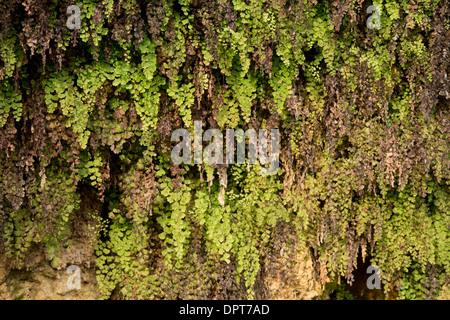 Maidenhair Fern, Adiantum capillus-veneris growing on a damp limestone cliff, Dordogne. - Stock Photo