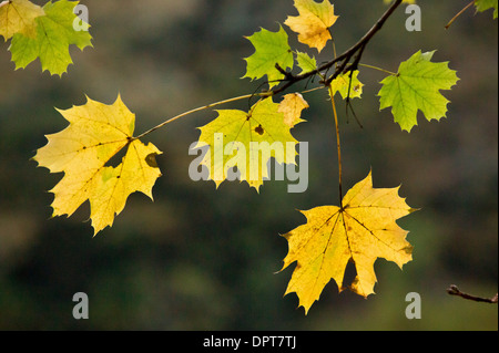 Norway Maple leaves, Acer platanoides, in autumn. - Stock Photo
