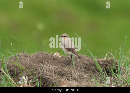 Wheatear (Oenanthe oenanthe) perched on a mound. - Stock Photo