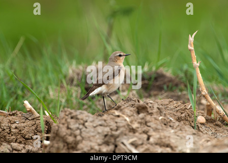 Wheatear (Oenanthe oenanthe) - Stock Photo