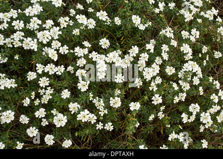 An evergreen candytuft, Iberis sempervirens. South Europe. - Stock Photo