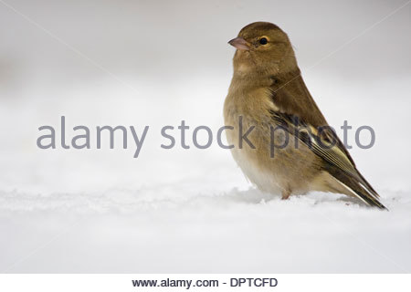 Common Chaffinch (Fringilla coelebs) female foraging in the snow in winter - Stock Photo