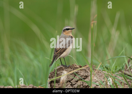 Wheatear (Oenanthe oenanthe). Male on spring migration. - Stock Photo