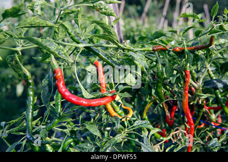 Red chili peppers growing on plant and ready for picking - Stock Photo