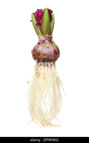 Hyacinth bulb, flower, foliage and roots isolated against white - Stock Photo