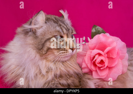 Cat head shot on pink background with pink rose - Stock Photo