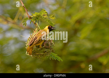 Southern or Vitelline Masked Weaver ( Ploceus velatus) male building nest with blade of grass, Lusaka, Zambia, September - Stock Photo