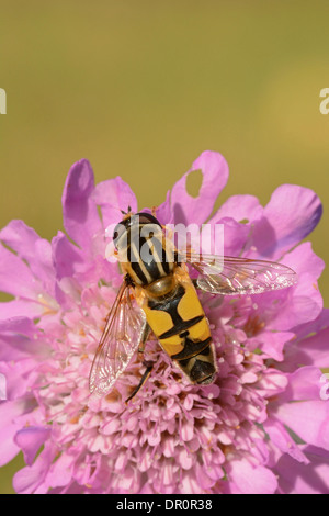 Brindled Hoverfly (Helophilus pendulus) at rest on Scabius flower, Oxfordshire, England, July - Stock Photo