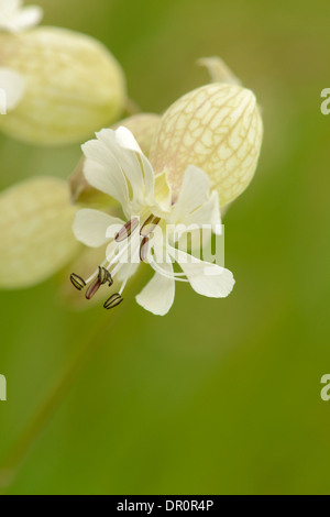 Bladder Campion (Silene vulgaris) close-up of flower, Oxfordshire, England, June - Stock Photo