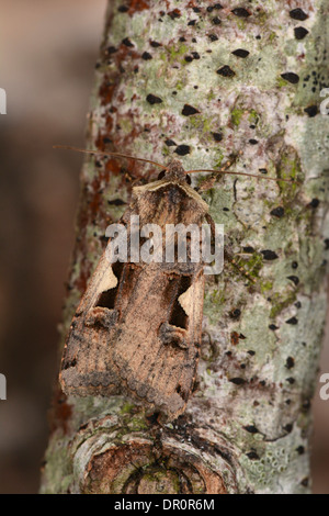 Setaceous Hebrew Character Moth ( Xestia c-nigrum) at rest on branch, Oxfordshire, England, August - Stock Photo