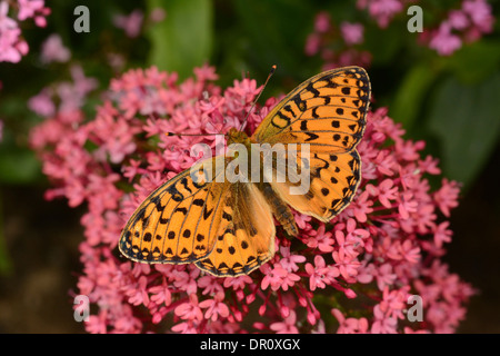 Dark Green Fritillary Butterfly (Argynnis aglaja) adult feeding on Red Valerian (Centranthus ruber), Oxfordshire, - Stock Photo