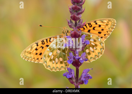 Dark Green Fritillary Butterfly (Argynnis aglaja) adult with wings spread, view of underside, Oxfordshire, England, - Stock Photo