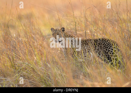 African Leopard (Panthera pardus) female walking in long grass, Kafue National Park, Zambia, September - Stock Photo