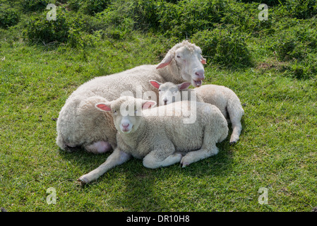 Ewe and lambs - Stock Photo