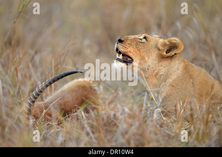 African Lion (Panthera leo) female lioness lying in the grass next to Puku kill, looking upwards, Kafue National - Stock Photo