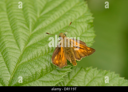 Large Skipper Butterfly (Ochlodes venatus) adult at rest on leaf, Oxfordshire, England, July - Stock Photo