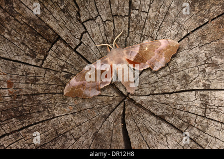 Poplar Hawkmoth (Laothoe populi) pink coloured adult at rest on tree stump, showing hindwings, Oxfordshire, England, - Stock Photo