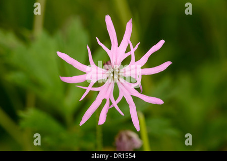 Ragged-Robin (Lychnis flos-cuculi) close-up of pink flower, Oxfordshire, England, June - Stock Photo