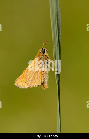 Small Skipper Butterfly (Thymelicus sylvestris) adult at rest on blade of grass, Oxfordshire, England, July - Stock Photo