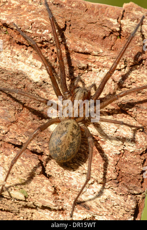 Common house spider (Tegenaria domestica). A large spider ...