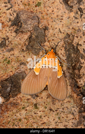 Specious Tiger Moth (Asota speciosa) adult moth resting on tree trunk, Kafue National Park, Zambia - Stock Photo