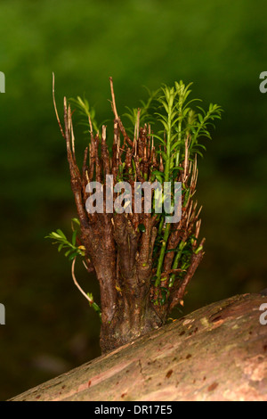 Yew Tree (Taxus baccata) new growth sprouting from old branch, Oxfordshire, England, July - Stock Photo