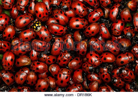 A pile of ladybugs. - Stock Photo
