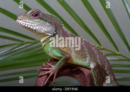 Chinese Water Dragon  (Physignathus cocincinus) - Stock Photo