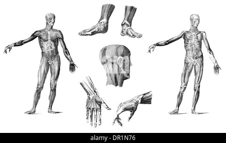 Muscles of the Human Body - Stock Photo
