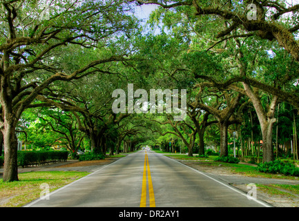 Old Oak Trees along Coral Way in Coral Gables, Florida - Stock Photo