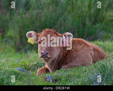 A young cow calf with mandatory ear tags for registration Identity.   SCO 9250. - Stock Photo